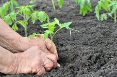 Agricoltore che pianta una piantina del pomodoro Immagini Stock Libere da Diritti