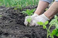Agricoltore che pianta una piantina del pomodoro Fotografia Stock