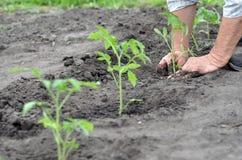 Agricoltore che pianta una piantina del pomodoro Immagini Stock