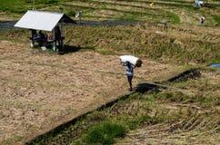 Agricoltore che porta un sacco di riso su un giacimento del riso Immagini Stock Libere da Diritti