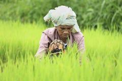 Agricoltore che prepara i germogli del riso Fotografia Stock Libera da Diritti