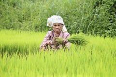 Agricoltore che prepara i germogli del riso Fotografia Stock