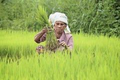 Agricoltore che prepara i germogli del riso Immagini Stock Libere da Diritti
