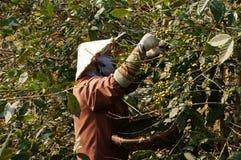 Agricoltore che raccoglie chicco di caffè Fotografia Stock