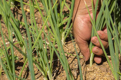 Agricoltore che raccoglie cipolla organica fresca nel campo Fotografia Stock