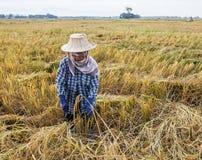 Agricoltore che raccoglie dal giacimento del riso Immagine Stock