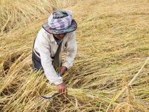 Agricoltore che raccoglie dal giacimento del riso Immagini Stock