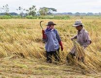 Agricoltore che raccoglie dal giacimento del riso Immagine Stock Libera da Diritti