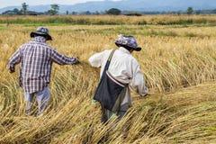 Agricoltore che raccoglie dal giacimento del riso Immagini Stock Libere da Diritti