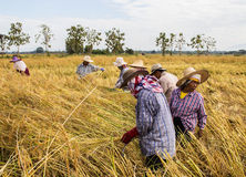 Agricoltore che raccoglie dal giacimento del riso Fotografia Stock