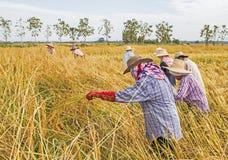 Agricoltore che raccoglie dal giacimento del riso Fotografie Stock