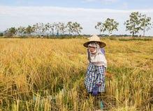 Agricoltore che raccoglie dal giacimento del riso Fotografia Stock Libera da Diritti