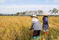 Agricoltore che raccoglie dal giacimento del riso Fotografie Stock Libere da Diritti