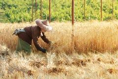 Agricoltore che raccoglie grano con la falce Fotografia Stock Libera da Diritti