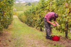Agricoltore che raccoglie l'uva in vigna Fotografie Stock Libere da Diritti
