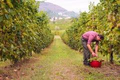 Agricoltore che raccoglie l'uva in vigna Fotografie Stock