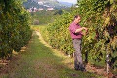 Agricoltore che raccoglie l'uva in vigna Fotografia Stock
