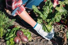 Agricoltore che raccoglie le barbabietole Fotografie Stock