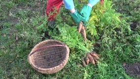 Agricoltore che raccoglie le carote fresche arancio in giardino video d archivio