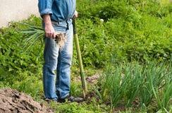 Agricoltore che raccoglie le cipolle verdi Fotografia Stock