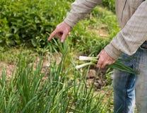 Agricoltore che raccoglie le cipolle verdi Fotografie Stock Libere da Diritti