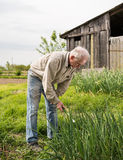 Agricoltore che raccoglie le cipolle verdi Immagini Stock Libere da Diritti