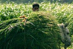 Agricoltore che raccoglie nell'egitto Fotografie Stock