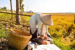 Agricoltore che raccoglie risaia Fotografie Stock