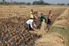 Agricoltore che raccoglie riso Fotografie Stock