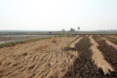 Agricoltore che raccoglie riso Fotografia Stock Libera da Diritti