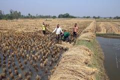 Agricoltore che raccoglie riso Fotografie Stock Libere da Diritti