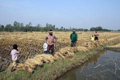 Agricoltore che raccoglie riso Immagine Stock