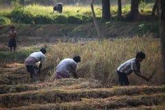 Agricoltore che raccoglie riso Immagine Stock Libera da Diritti