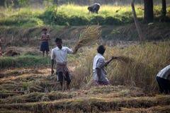 Agricoltore che raccoglie riso Immagini Stock Libere da Diritti