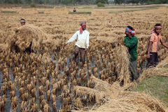 Agricoltore che raccoglie riso Immagini Stock