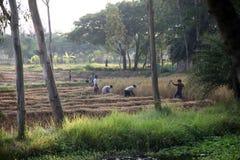 Agricoltore che raccoglie riso Fotografia Stock