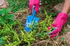 Agricoltore che rinvasa la pianta del ginepro in suolo coperto di pacciame Fotografie Stock