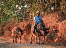 Agricoltore che ritorna dal campo sui suoi bufali d'acqua, lago Kalaw Inle di viaggio, Shan State, Myanmar Fotografie Stock Libere da Diritti
