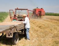 Agricoltore che sta accanto al rimorchio con i grani Fotografie Stock