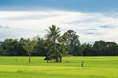 Agricoltore che sveglia attraverso un giacimento verde del riso, sguardo dall'angolo di vista Fotografia Stock