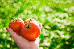 Agricoltore che tiene i pomodori freschi Pomodori della tenuta nelle mani sotto le gocce di pioggia Immagine Stock Libera da Diritti