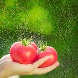 Agricoltore che tiene i pomodori freschi Pomodori della tenuta nelle mani sotto le gocce di pioggia Fotografia Stock Libera da Diritti