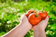 Agricoltore che tiene i pomodori freschi Pomodori della tenuta nelle mani sotto le gocce di pioggia Fotografie Stock