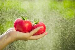 Agricoltore che tiene i pomodori freschi Pomodori della tenuta nelle mani sotto le gocce di pioggia Immagini Stock Libere da Diritti