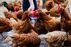 Agricoltore che tiene la ciotola bianca dell'alimentazione animale dentro per i molti gallina del pollo Fotografie Stock Libere da Diritti