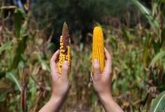 Agricoltore che tiene la pannocchia di granturco matura due Fotografia Stock