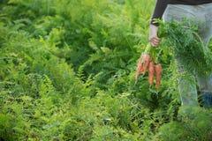 Agricoltore che tiene un mazzo di carote Fotografia Stock Libera da Diritti
