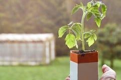 Agricoltore che tiene una piantina del pomodoro che cresce in pacchetto di carta del latte Fotografia Stock Libera da Diritti