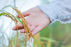 Agricoltore che tocca il suo raccolto con la mano in un giacimento di grano Fotografia Stock Libera da Diritti