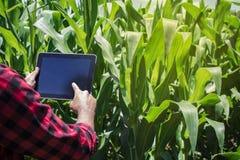 Agricoltore che utilizza il computer digitale della compressa nella piantagione coltivata del campo di grano Fotografie Stock